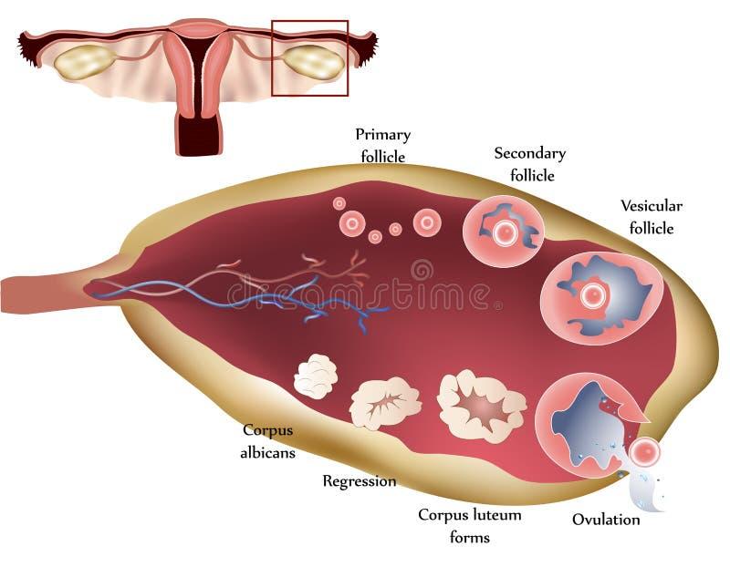 ovary vektor illustrationer