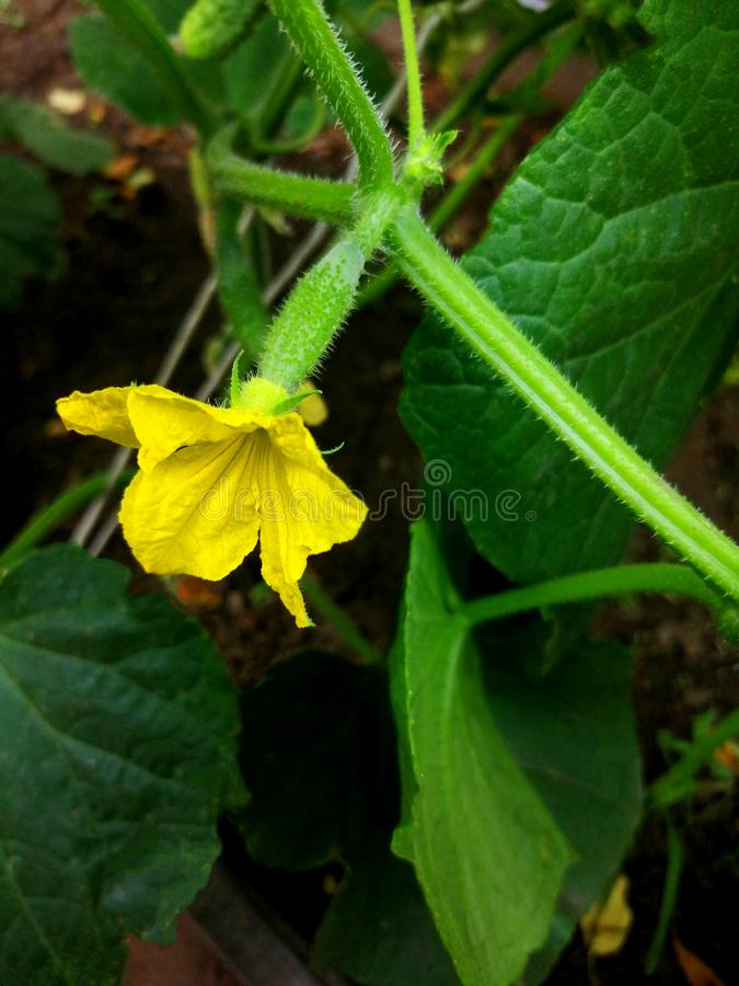 The ovary of cucumber yellow flower and the green. Background stock photography