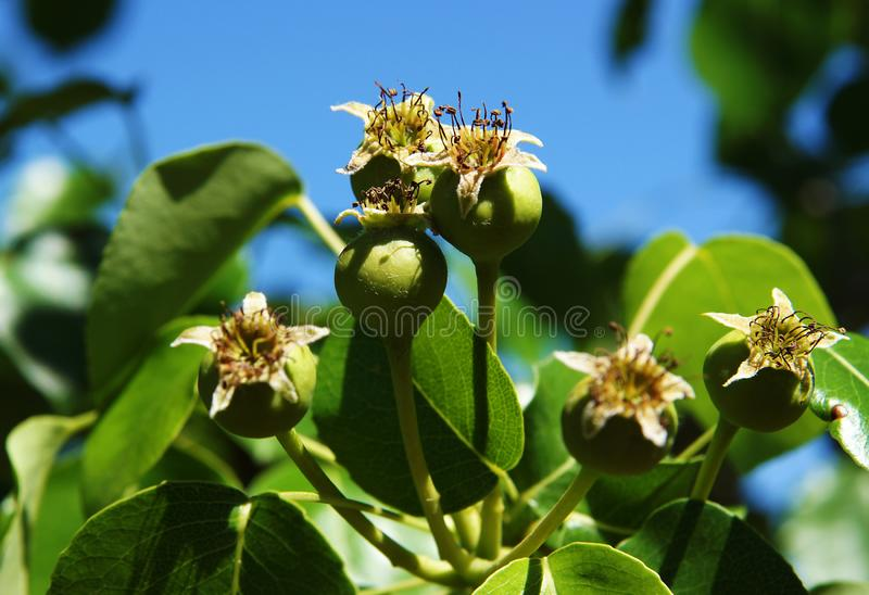 Ovary or young fruits. Of pear in the spring stock images