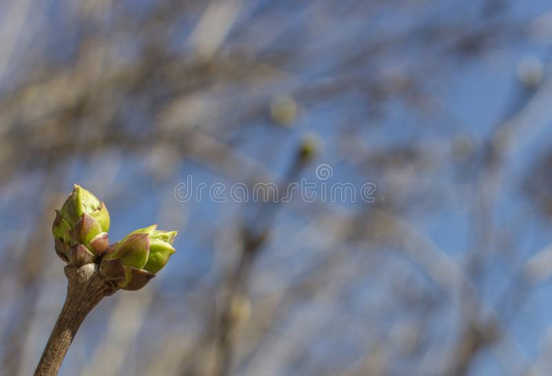 Ovary on a young plant. The buds on the tree. Ovary on the plant. The awakening of nature. Flora in the spring. Spring nature. The greens on the tree. Young stock photos