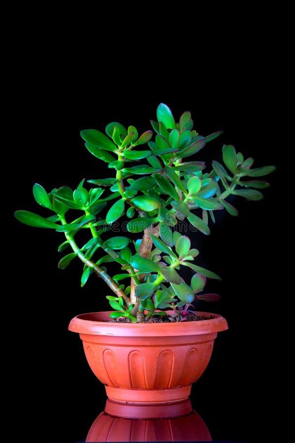 Ovata della crassula o primo piano succulente della pianta dell'albero dei soldi su fondo nero immagini stock