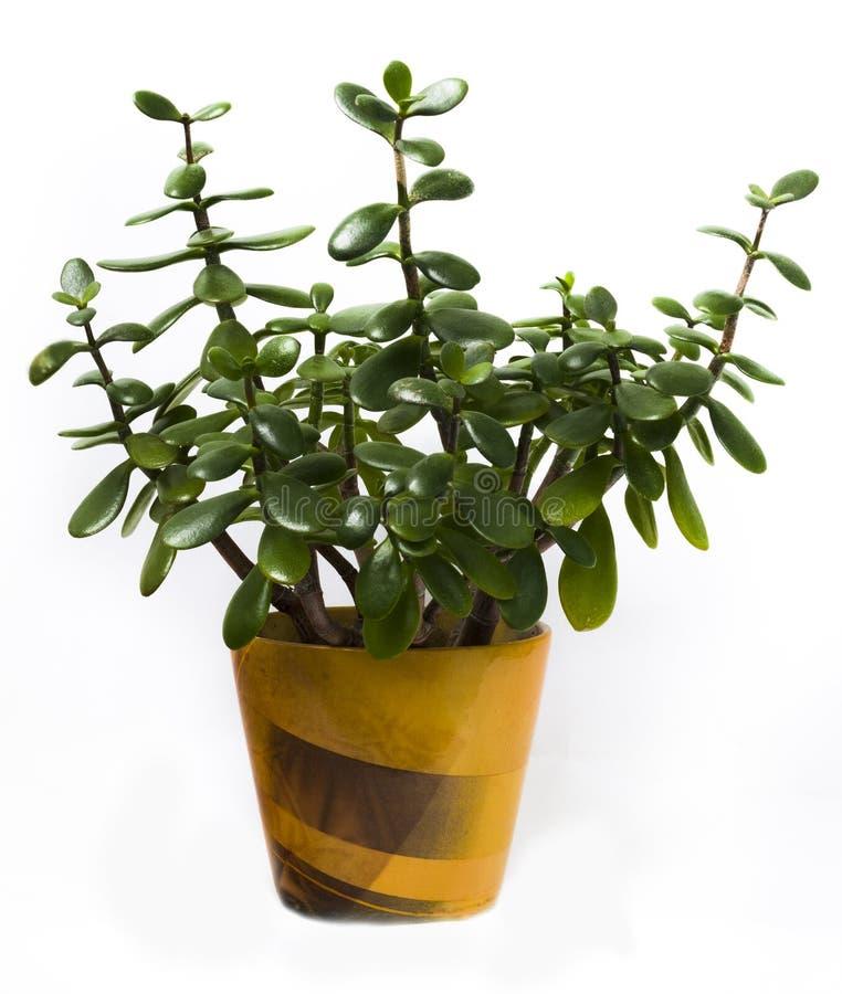 Ovata della crassula in vaso giallo su fondo bianco Houseplant isolato fotografia stock