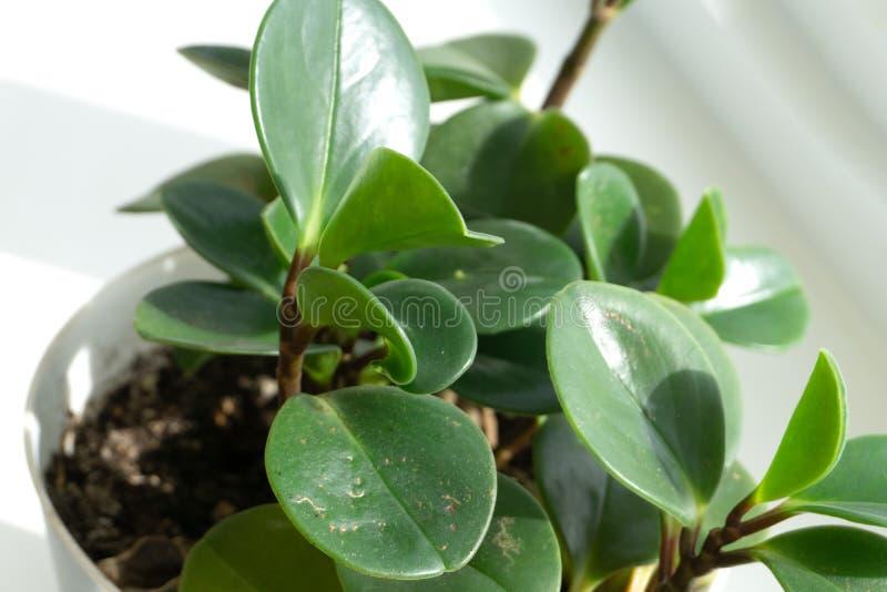 Ovata Jade Plant, fine succulente della crassula della pianta della pianta di soldi su Fuoco selettivo Priorità bassa floreale fotografia stock