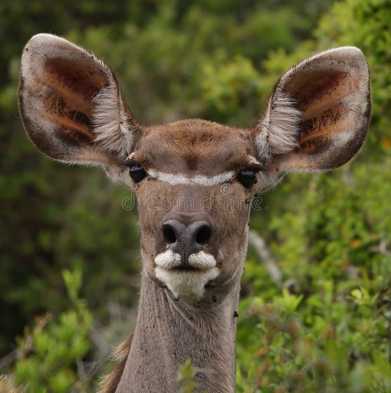 Oveja de Kudu imagen de archivo libre de regalías