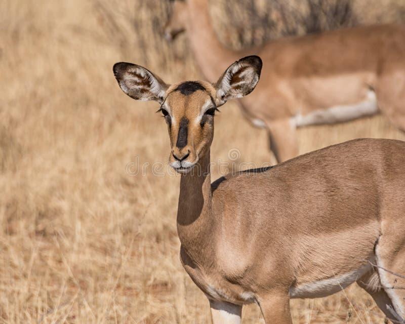 Oveja del impala imagenes de archivo