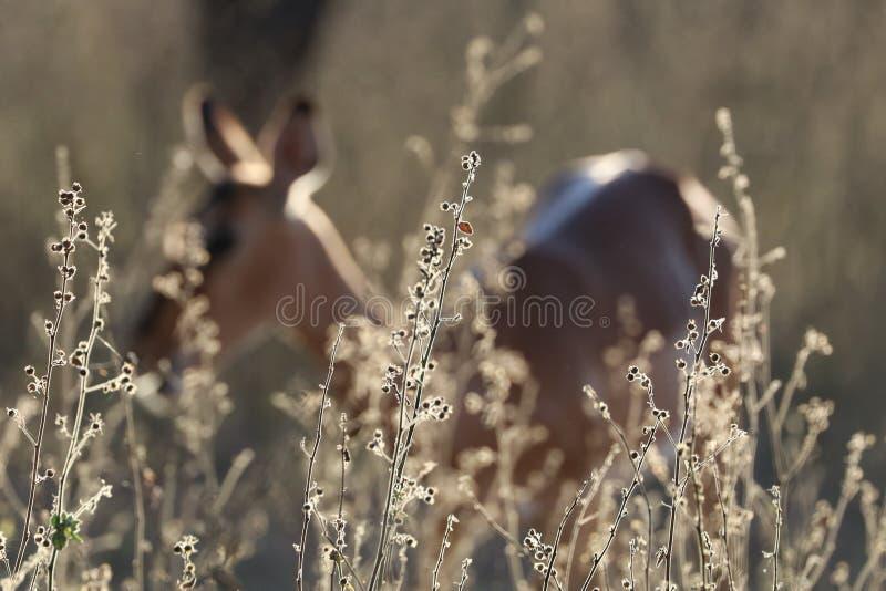 Oveja del impala imagen de archivo