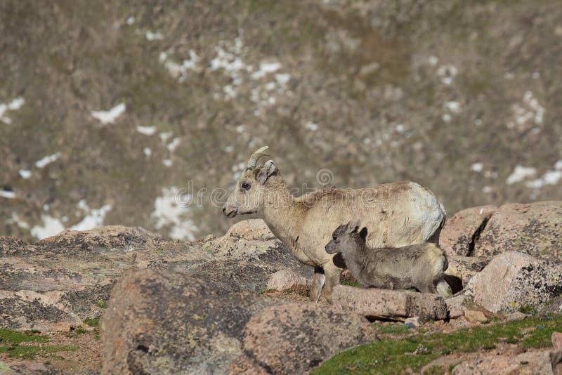 Oveja y cordero del Bighorn
