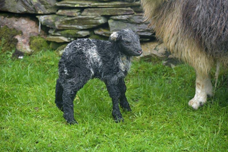 Oveja y cordero recién nacido, Coniston imagenes de archivo