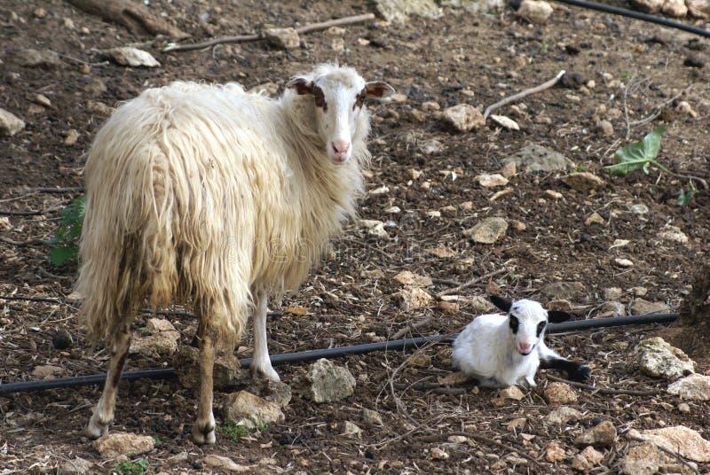 Oveja y cordero recién nacido en un campo durante estación de primavera foto de archivo