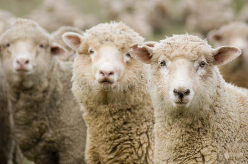 Download Ovejas imagen de archivo. Imagen de ovejas, cara, cubo - 1288257