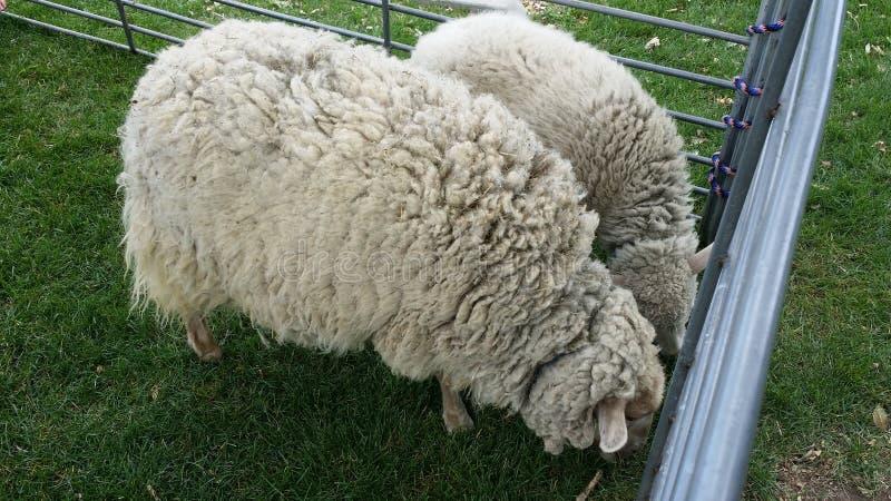2 ovejas fotos de archivo