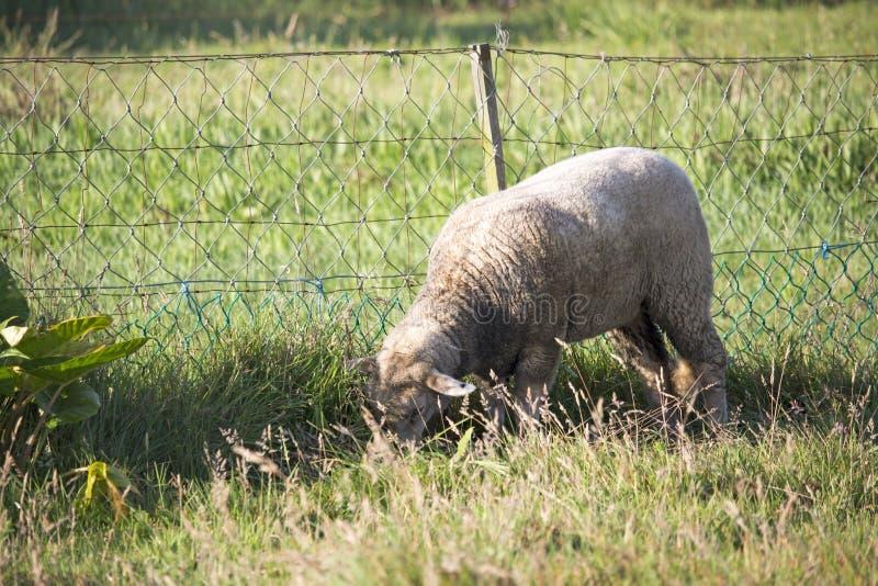Ovejas blancas sucias que pastan pacífico en un campo de la hierba, al lado de una cerca de cadena fotografía de archivo