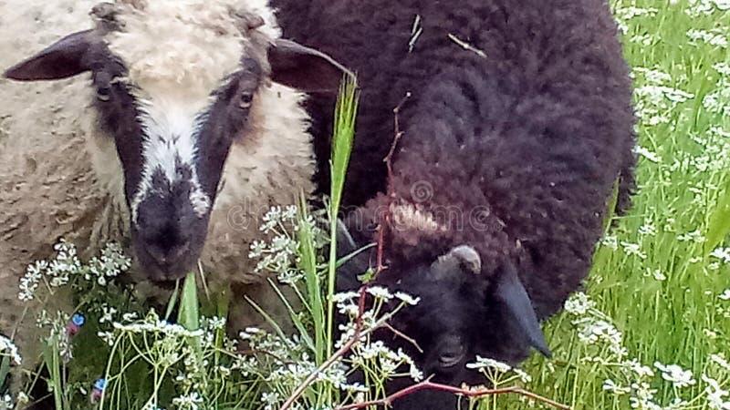 Ovejas blancos y negros en un prado en primavera imagen de archivo