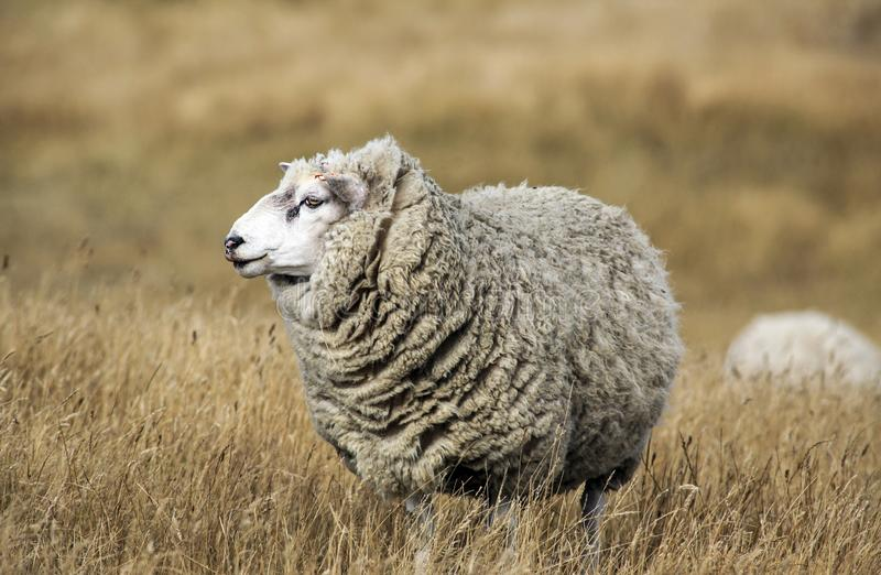 Ovejas con el paño grueso y suave lleno de las lanas listas para el corte del verano imágenes de archivo libres de regalías