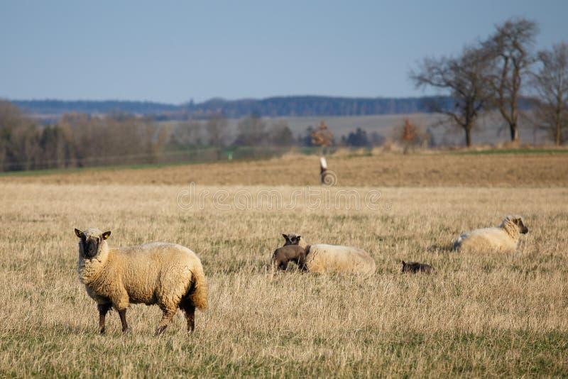 Ovejas con los corderos en pasto fotos de archivo