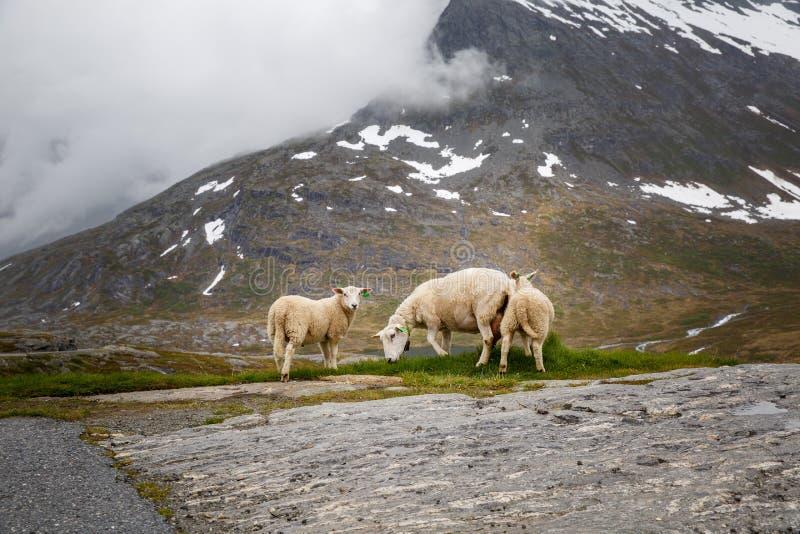Ovejas con los corderos que pastan en las cuestas de las montañas Vista escénica de las montañas de Noruega fotos de archivo libres de regalías