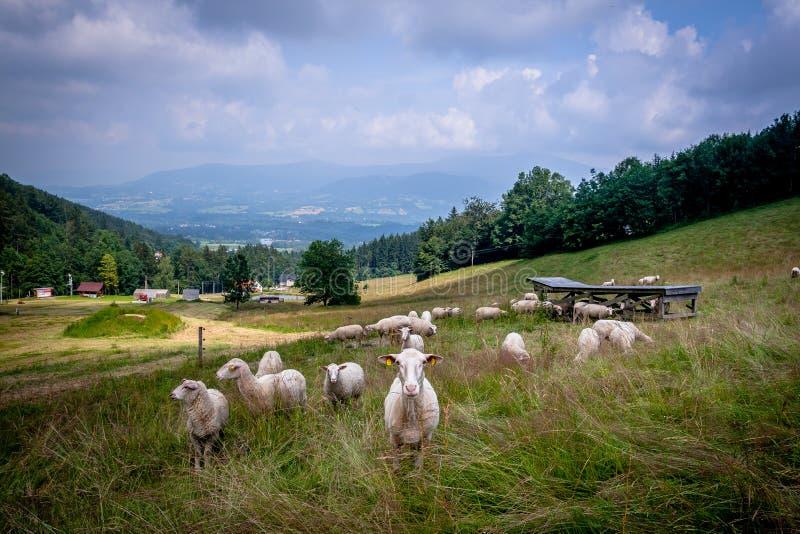 Ovejas curiosas en el pasto en las montañas fotos de archivo