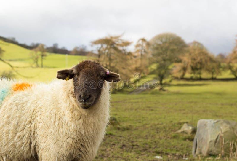 Ovejas, Cynwyd, País de Gales del norte, Reino Unido fotos de archivo