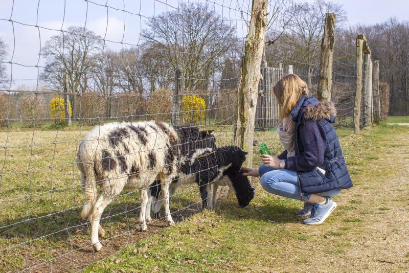 Ovejas de alimentación de la chica joven en el parque zoológico imagen de archivo libre de regalías