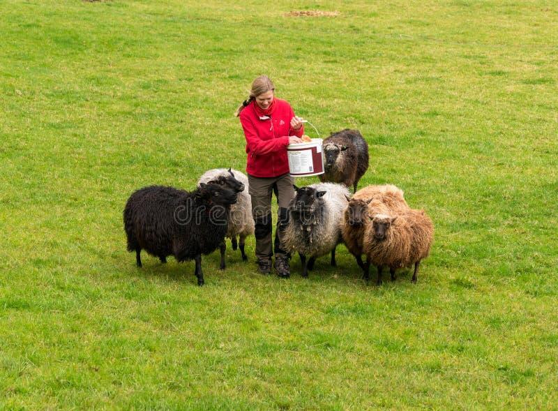 Ovejas de alimentación de la mujer en granja noruega cerca de Bergen imagen de archivo