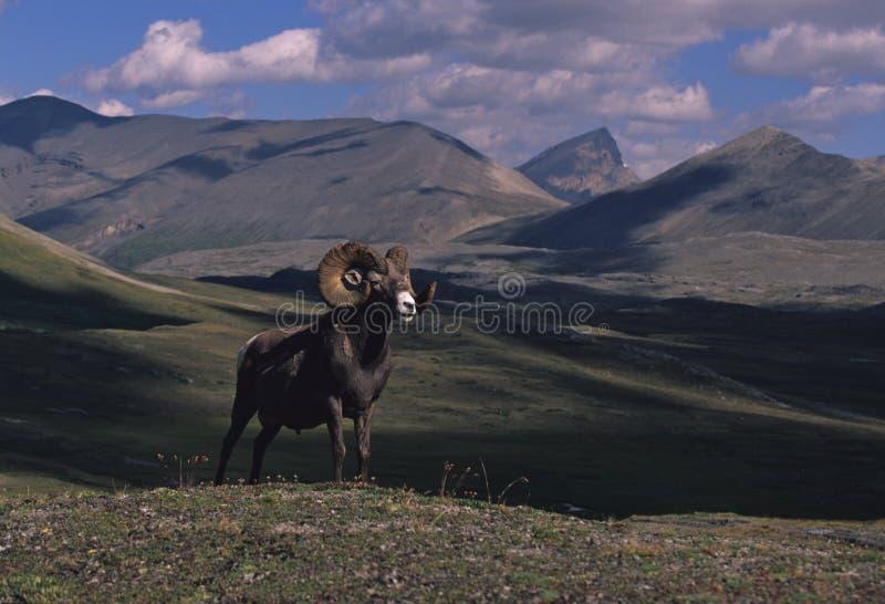 Ovejas de Bighorn imagenes de archivo