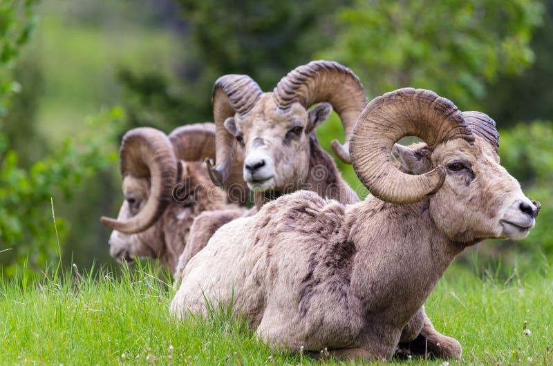 Ovejas de Bighorn - canadensis del Ovis tres ovejas imagenes de archivo