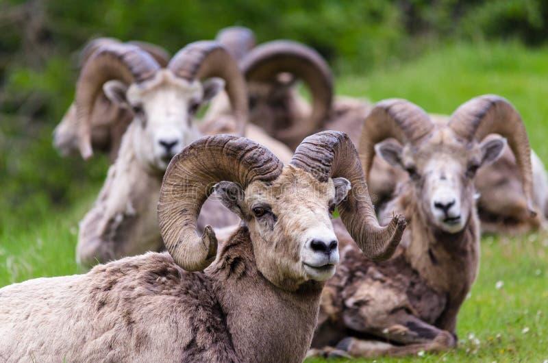 Ovejas de Bighorn - canadensis del Ovis tres ovejas fotos de archivo libres de regalías