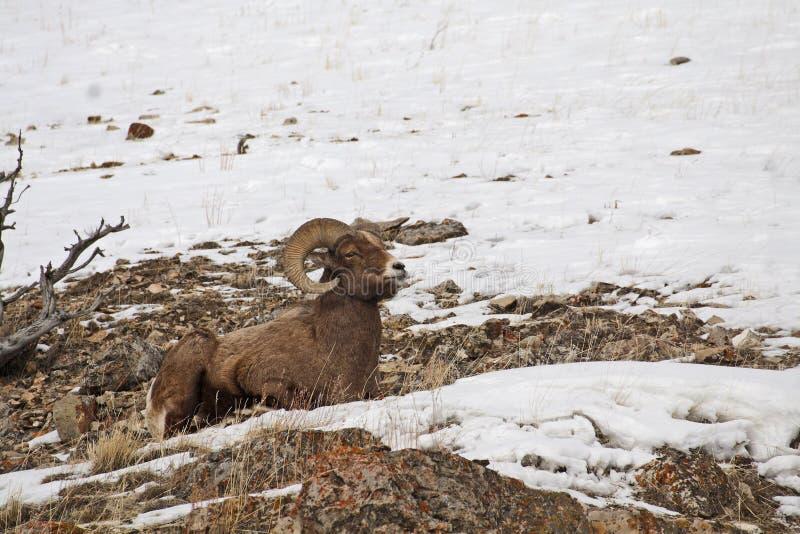 Ovejas de Bighorn de la montaña rocosa fotografía de archivo libre de regalías