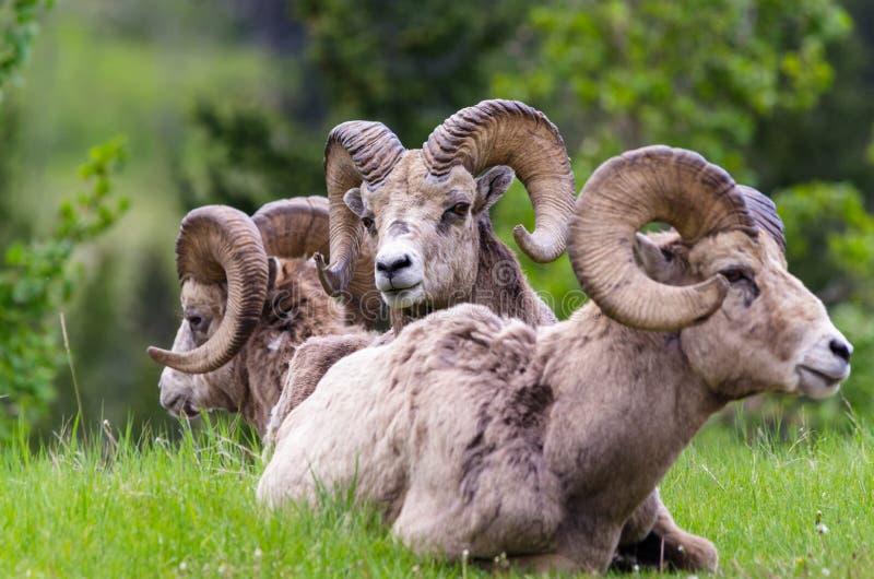 Ovejas de Bighorn - el sentarse de las ovejas del canadensis tres del Ovis imágenes de archivo libres de regalías