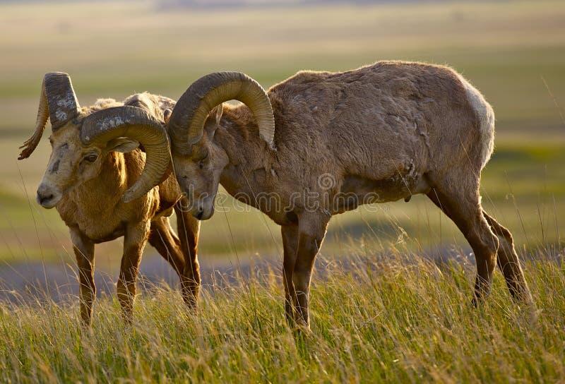Ovejas de Bighorn en amor fotos de archivo libres de regalías