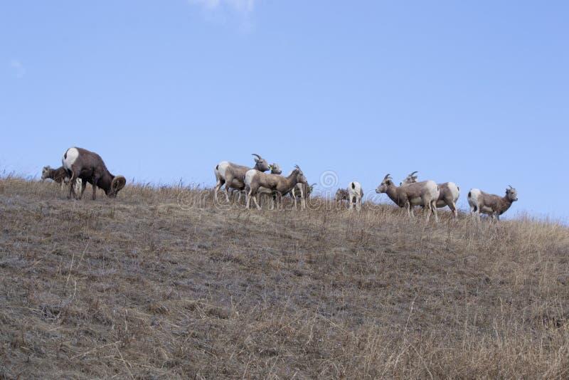 Ovejas de Bighorn en la ladera fotografía de archivo libre de regalías