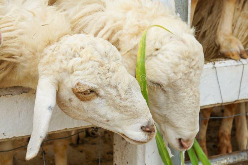 Ovejas de Byre que comen la hierba en una granja rural imagenes de archivo