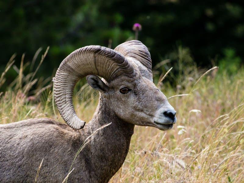 Ovejas de carnero con grandes cuernos americanas en un prado imágenes de archivo libres de regalías