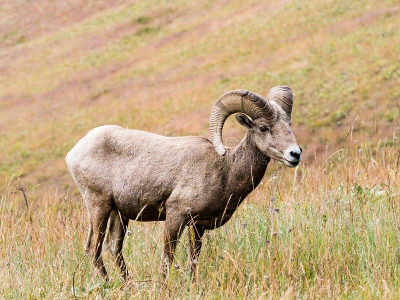 Ovejas de carnero con grandes cuernos americanas en un prado foto de archivo libre de regalías
