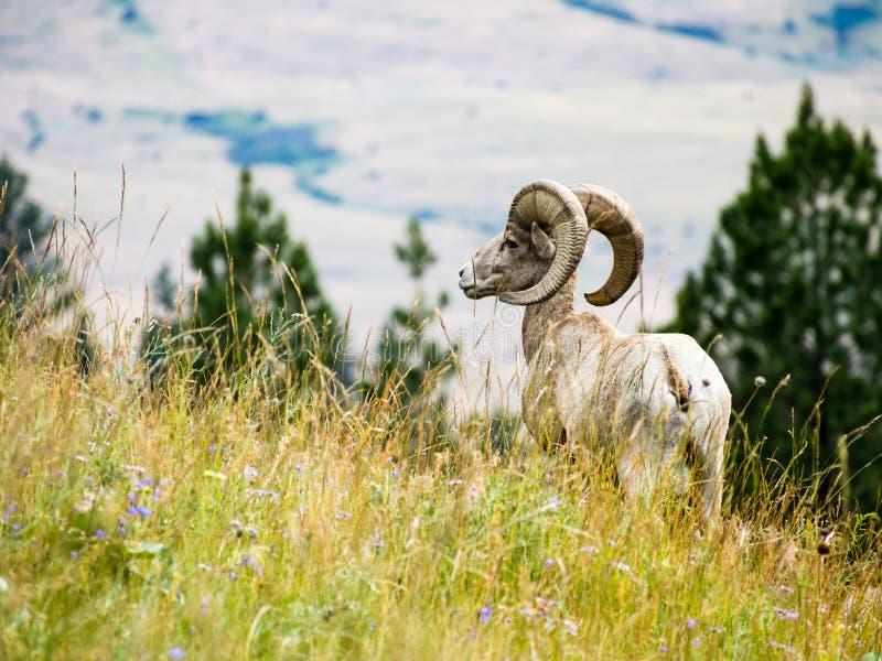Ovejas de carnero con grandes cuernos americanas en un prado fotografía de archivo libre de regalías