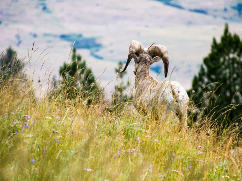 Ovejas de carnero con grandes cuernos americanas en un prado imagenes de archivo