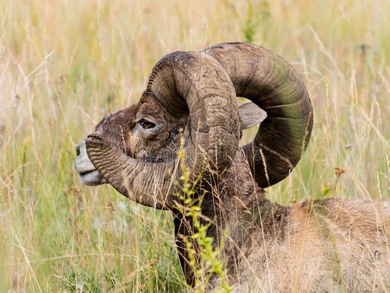 Ovejas de carnero con grandes cuernos americanas que se sientan en la hierba fotos de archivo libres de regalías