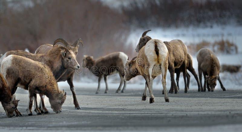 ovejas de carnero con grandes cuernos que lamen la sal y los minerales en un camino imagenes de archivo