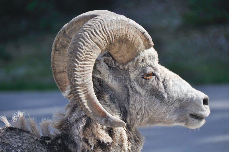Ovejas de carnero con grandes cuernos salvajes, Banff (Canadá) imagen de archivo