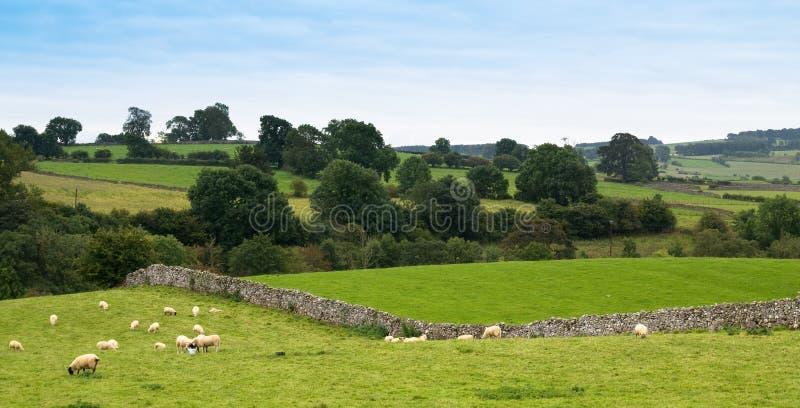 Ovejas de Cumbrian imagen de archivo libre de regalías