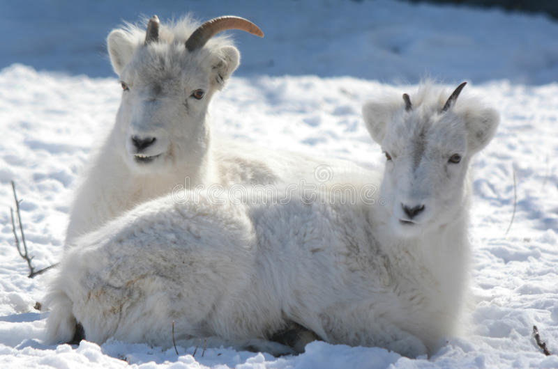 Ovejas de Dall que colocan en el campo de la nieve fotografía de archivo libre de regalías