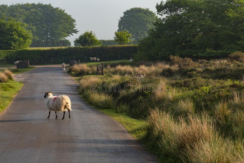 Ovejas de Dartmoor fotos de archivo
