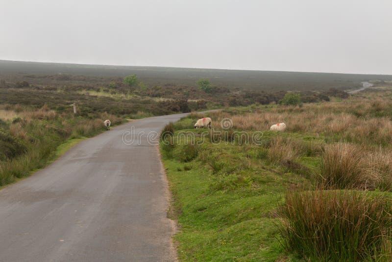 Ovejas de Dartmoor imágenes de archivo libres de regalías