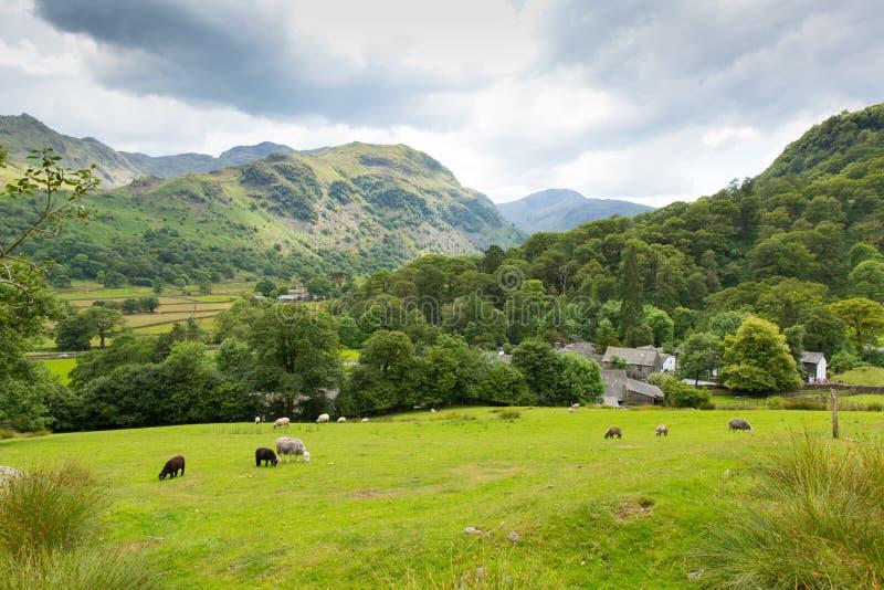 Ovejas de la escena del país en el distrito Cumbria Inglaterra Reino Unido del lago valley de Seatoller Borrowdale del campo imagen de archivo libre de regalías