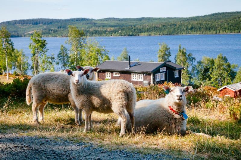 Ovejas de la gama de Rree en Noruega meridional foto de archivo libre de regalías