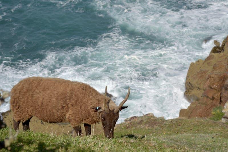 Ovejas de la Isla de Man de Loagthan que pastan por el mar en el agujero de Devil's, jersey imagen de archivo