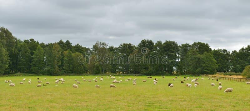 Ovejas de la manada en prado foto de archivo