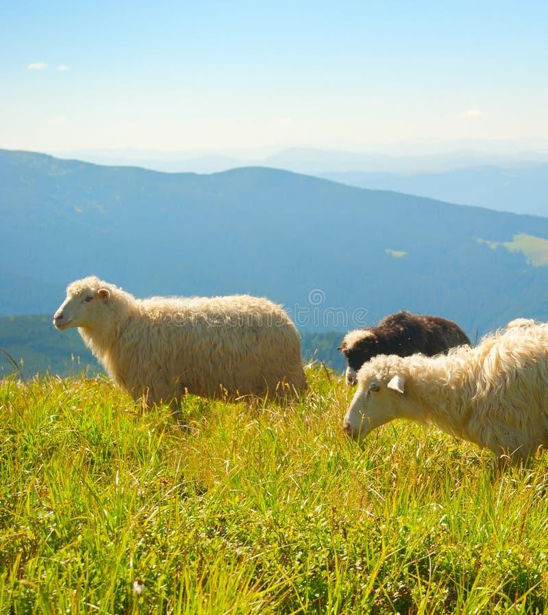 Ovejas de la manada que pastan las montañas Cárpatos fotografía de archivo