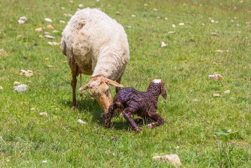 Ovejas de la oveja con el cordero recién nacido imagen de archivo