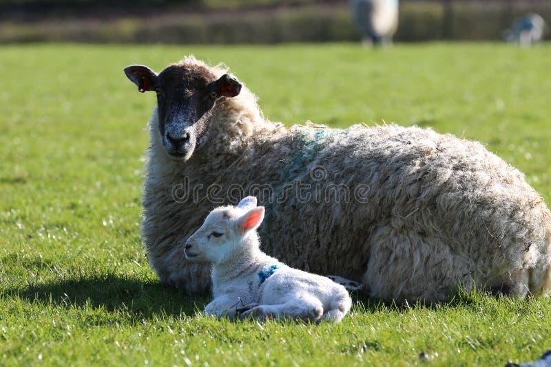 Ovejas de la oveja con la lámpara fotografía de archivo libre de regalías
